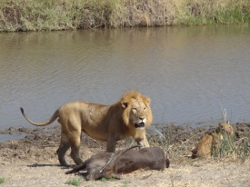 The male lion with the carcas of waterbuck