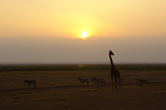 The maasai giraffe and zebras