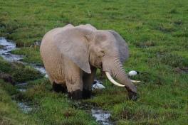 The bull elephant at Tarangire national park