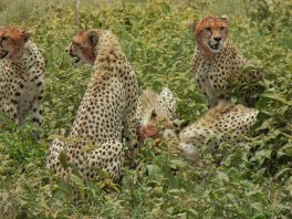 we were luck to spot this family of cheetah killing a gazelle at Serengeti National park