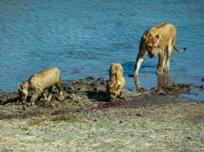 The lion curbs and their mother crossing the tarangire river